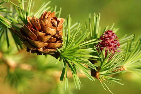 ovulate: Old and young ovulate cones of larch tree in spring, beginning of May.