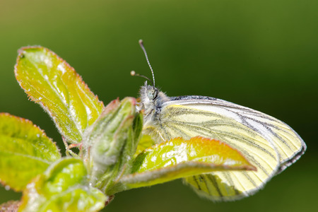 compound eye: Green-veined white (Pieris napi) butterfly on aplle-tree.