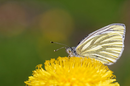 pieris: Green-veined white (Pieris napi) butterfly on dandelion flower. Stock Photo