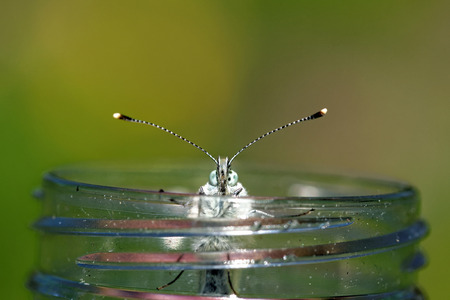 forewing: Green-veined white (Pieris napi) butterfly climbing out from a plastic bottle.