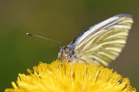 pieris: Green-veined white (Pieris napi) butterfly on dandelion flower. Stock Photo