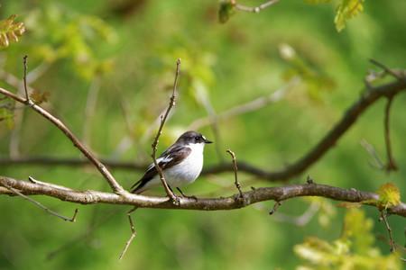 passerine: European pied flycatcher (Ficedula hypoleuca), a small passerine bird in the Old World flycatcher family.