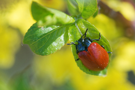 'compound eye': Chrysomela populi is a species of broad-shouldered leaf beetles belonging to the family Chrysomelidae.