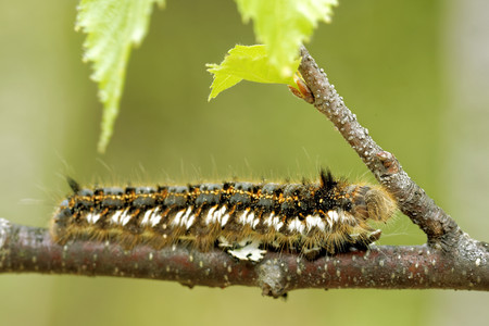 potatoria: Euthrix potatoria, the drinker, is an orange-brown moth of the family Lasiocampidae.