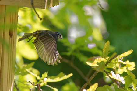 cyanistes: Eurasian blue tit (Cyanistes caeruleus) flying out from nest box.
