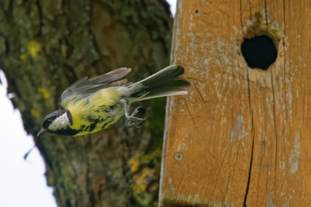 parus: Great tit (Parus major) flying out from nest box.
