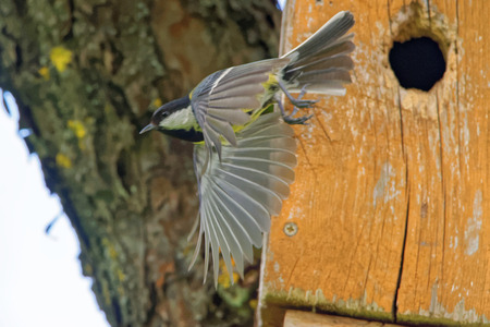 major: Great tit (Parus major) flying out from nest box.
