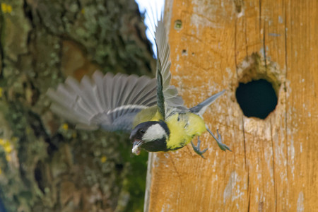 Great tit (Parus major) carrying ornithocopros out from nestbox.