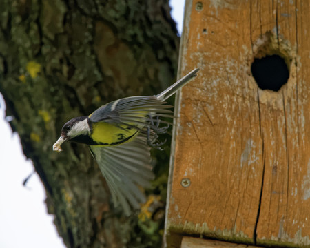 major: Great tit (Parus major) carrying ornithocopros out from nestbox.