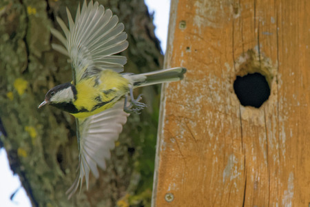 parus major: Great tit (Parus major) flying out from nest box.