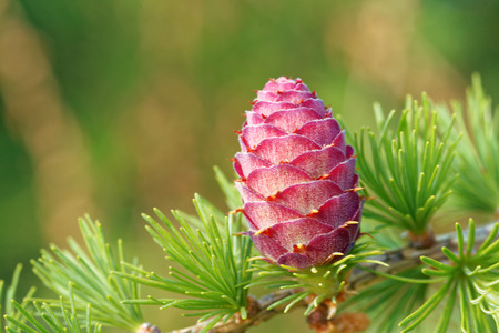 ovulate: Ovulate cone of larch tree in spring, end of May. Stock Photo