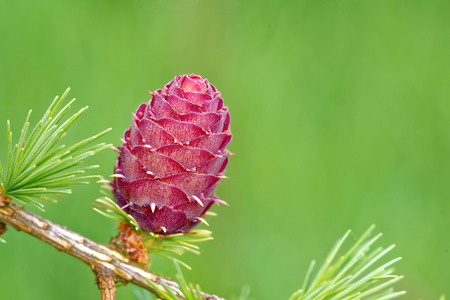larch tree: Ovulate cone of larch tree in spring, end of May. Stock Photo