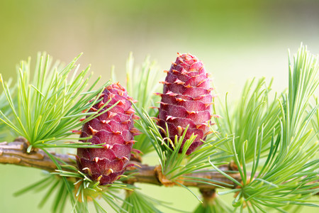 Ovulate cones of larch tree in spring, end of May.
