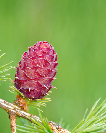 Ovulate cone of larch tree in spring, end of May. Stock Photo