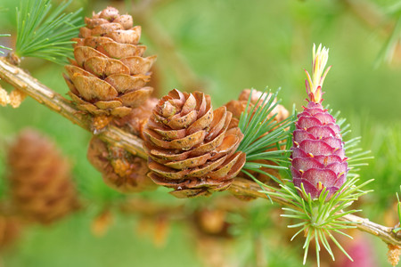 Old and young ovulate cones and young pollen cones of larch tree in spring, end of May.