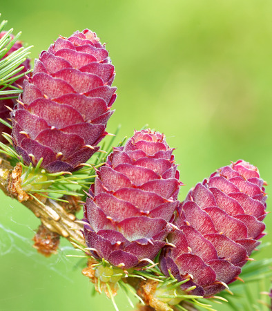 Ovulate cones and pollen cones of larch tree in spring, end of May.