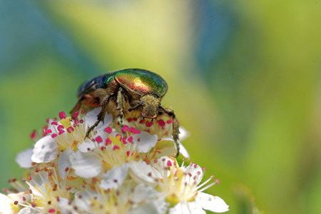 coleoptera: Rose chafer (Cetonia aurata)  feeding on flowers of chokeberries.