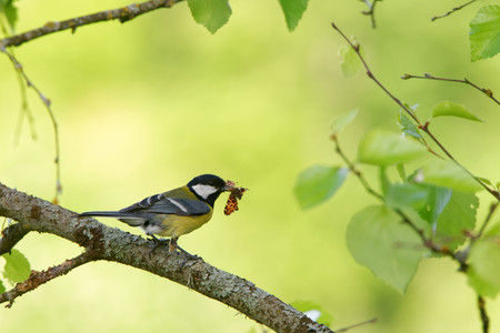 Great tit (Parus major) feeding the  nestlings with map butterfly (Araschnia levana) spring brood.