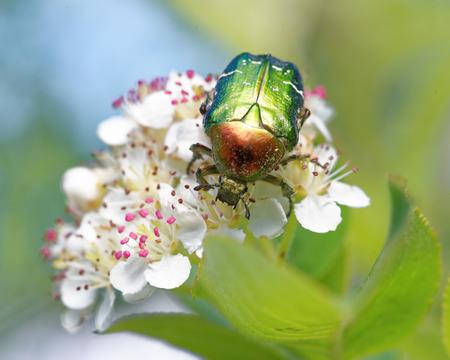 scarabaeidae: Rose chafer (Cetonia aurata)  feeding on flowers of chokeberries.