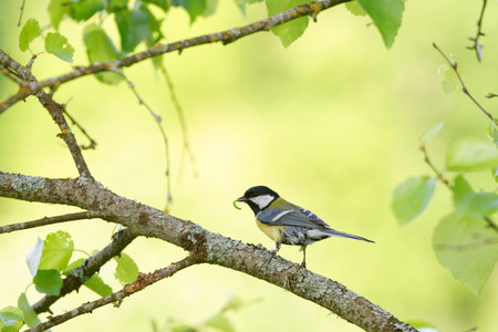 Great tit (Parus major) feeding the  nestlings with green caterpillars.