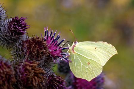 'compound eye': Birmstone butterfly (Gonepteryx rhamni) feeding on thistle flower. Stock Photo