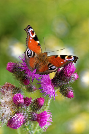 Peacock butterfly (Inachis io) feeding on thistle flower.
