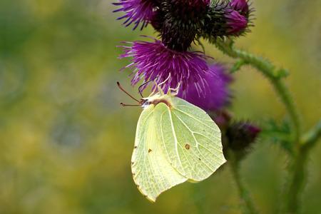 gonepteryx: Birmstone butterfly (Gonepteryx rhamni) feeding on thistle flower. Stock Photo