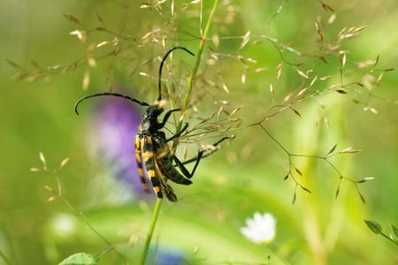 Longhorn beetle (Strangalia quadrifasciata)