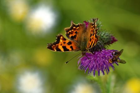 'compound eye': Comma butterfly (Polygonia c-album) feeding on thistle flower. Stock Photo