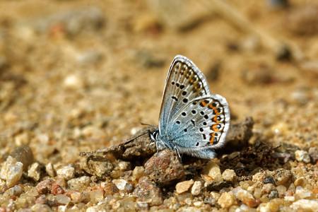 'compound eye': Idas Blue or Northern Blue (Plebejus idas) Stock Photo