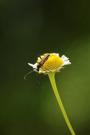 cerambycidae: Longhorned beetle (Corymbia rubra) climbing on daisy flower