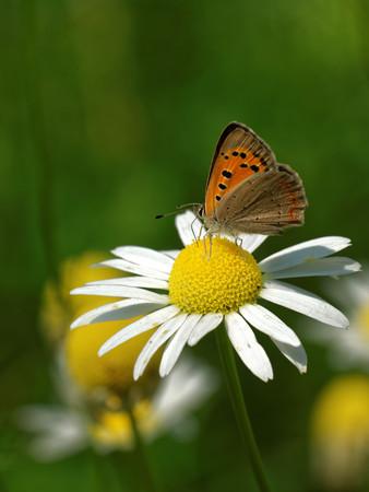 'compound eye': Large copper (Lycaena dispar) feeding on daisy flower.