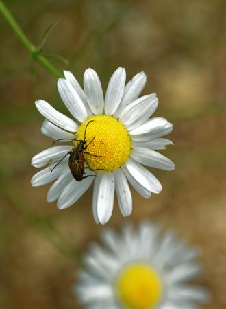 cerambycidae: Longhorned beetles (Corymbia rubra) mating on daisy flower