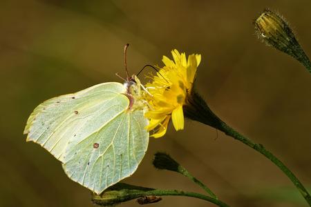 Birmstone butterfly (Gonepteryx rhamni) feeding on Hieracum flower.