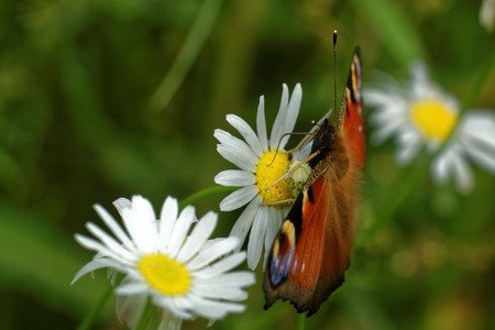 'compound eye': Peacock butterfly (Inachis io) feeding on daisy flower.