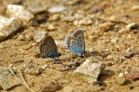 Idas Blue or Northern Blue (Plebejus idas) Stock Photo