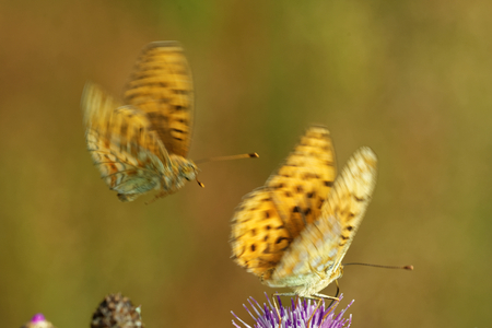 'compound eye': High brown fritillary (Fabriciana adippe) butterflies feeding and mating on thistle flowers. Stock Photo