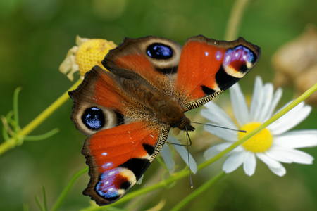 Peacock butterfly (Inachis io) feeding on daisy flower.