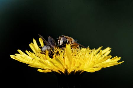 hieracium: Hoverflies on a Hieracium flower.