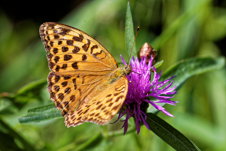 'compound eye': Silver-washed fritillary on a knapweed flower. Stock Photo