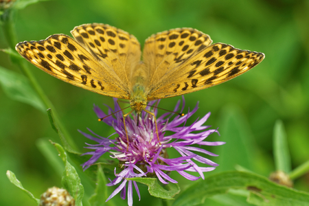 Silver-washed fritillary (Argynnis (ex Dryas) paphia) is a common and variable butterfly found over much of the Palaearctic ecozone.