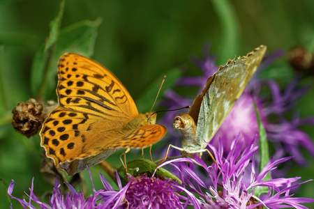 variable: Silver-washed fritillary (Argynnis (ex Dryas) paphia) is a common and variable butterfly found over much of the Palaearctic ecozone.