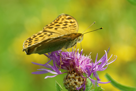 'compound eye': Silver-washed fritillary (Argynnis (ex Dryas) paphia) is a common and variable butterfly found over much of the Palaearctic ecozone.