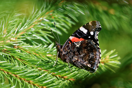 admiral: Red Admiral (Vanessa atalanta) on a  spruce fir.