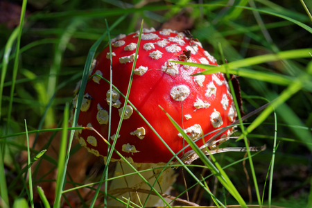 psychoactive: Amanita muscaria, commonly known as the fly agaric or fly amanita, is a mushroom and psychoactive basidiomycete fungus. Stock Photo