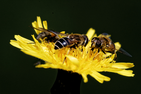 syrphidae: Hoverflies on a Hieracium flower.