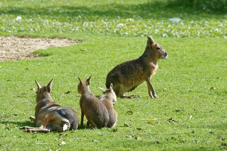 patagonian: Patagonian mara (Dolichotis patagonum), is a relatively large rodent in the mara genus (Dolichotis).