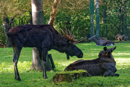 extant: Moose (North America) or elk (Eurasia), Alces alces, is the largest extant species in the deer family.