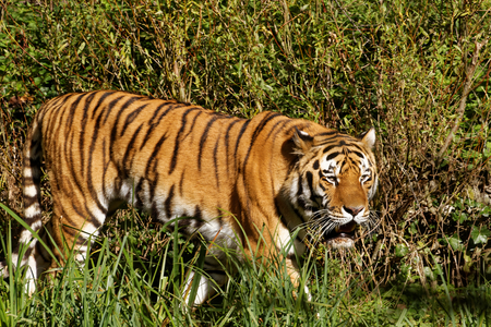 siberian tiger: Siberian tiger (Panthera tigris altaica), also known as the Amur tiger, is a tiger subspecies inhabiting mainly the Sikhote Alin mountain region.