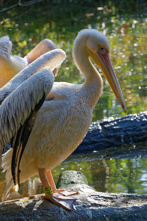 great white pelican: Great White Pelican (Pelecanus onocrotalus) also known as the Eastern White Pelican, Rosy Pelican or White Pelican is a bird in the pelican family.